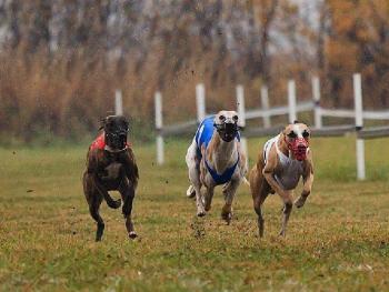 Совет Великобритании изменил правила собачьих бегов